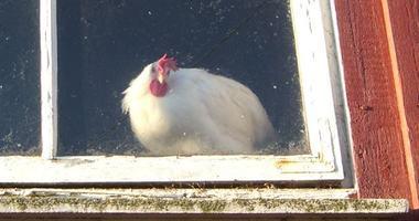 høne i vindu illustrasjonsbilde