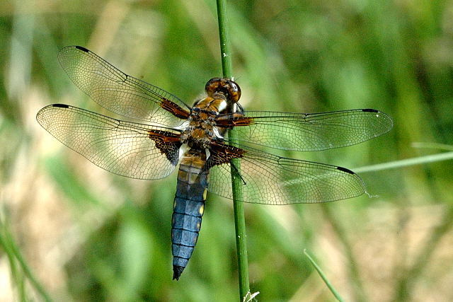 bilde av bred blålibelle