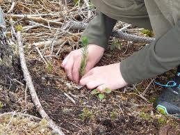 Skogplanter