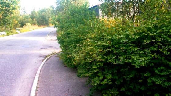Bilde av en overgrodd hekk