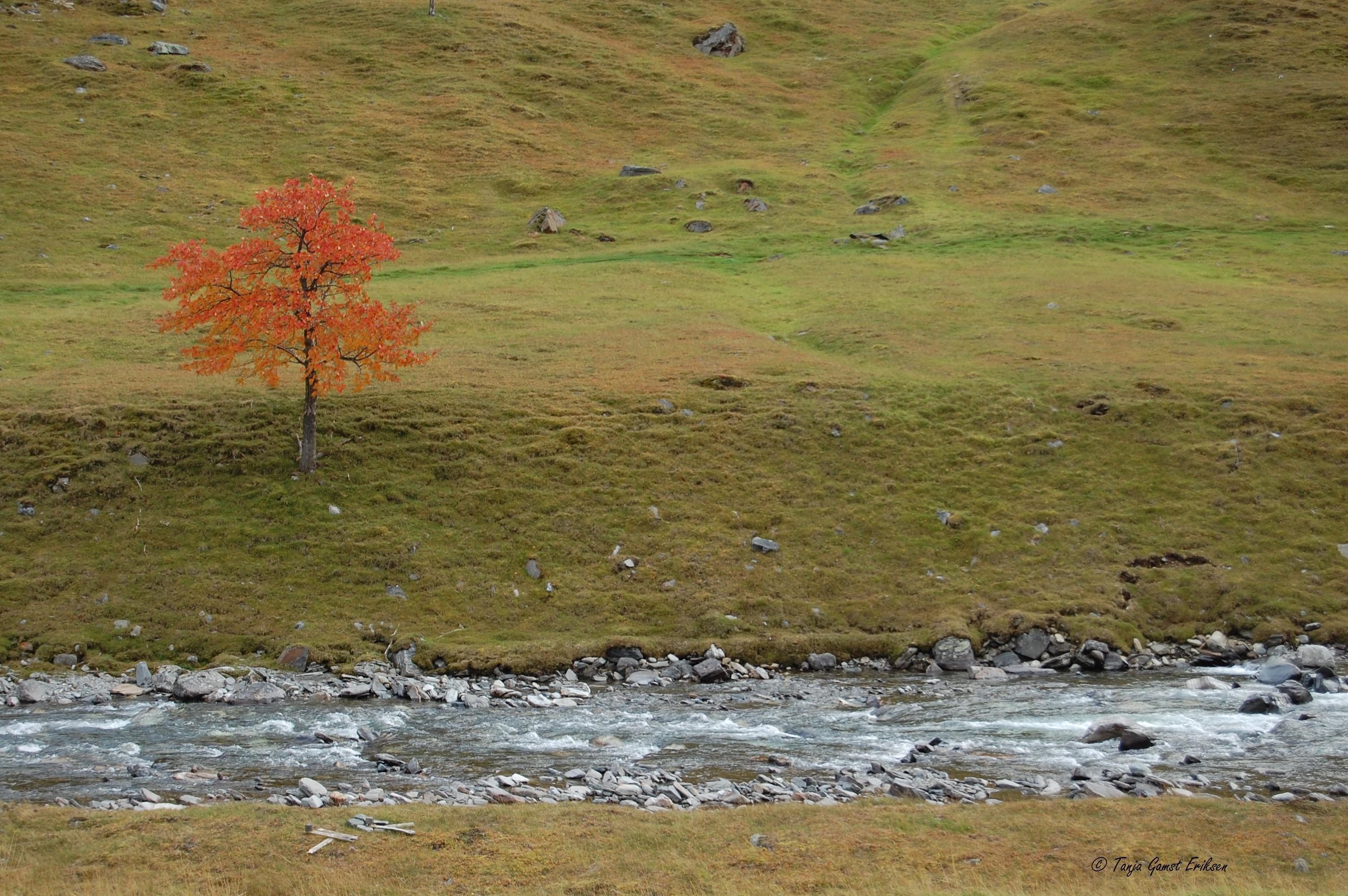 En ensom rogn i høstskrud ved setra..jpg