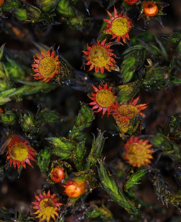 Blomstermose Schistidium dupretii (62).jpg