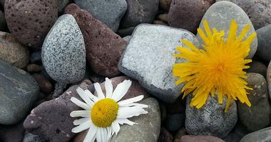 Stein-blomst