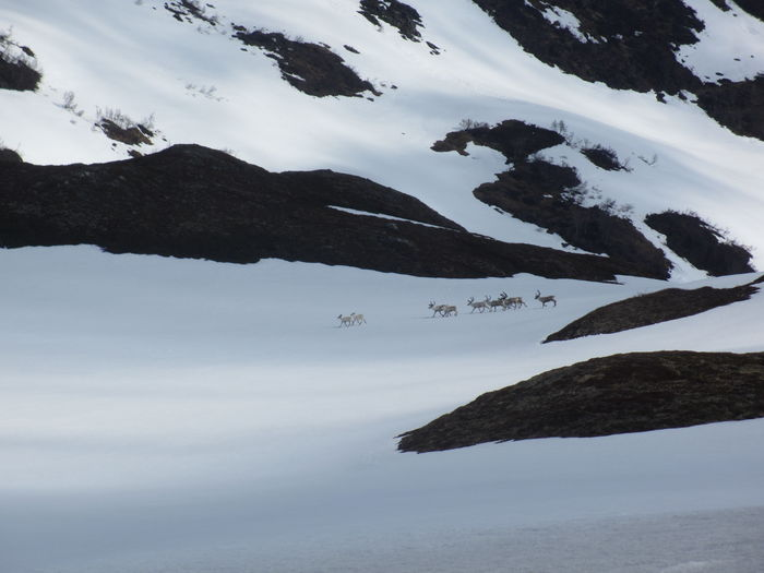 Villrein Vikafjellet juni 2015