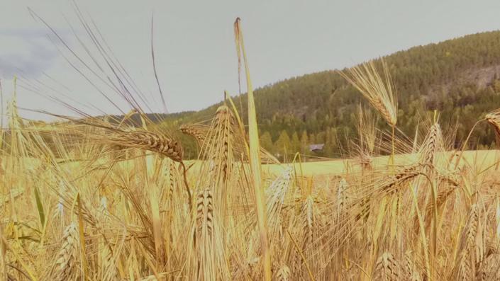 Plantevern - kornåker