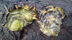 Stillehavsøsters truer biologisk mangfold og må bekjempes Foto: HI