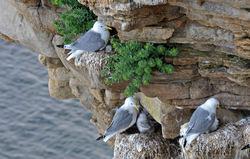 Krykkje i fuglefjell