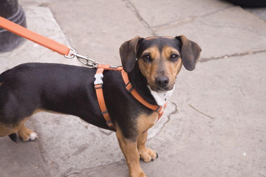Fotografi av hund i bånd