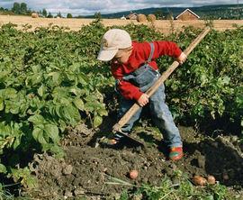 Bilde av gutt i potetåker som plukker opp en potet.