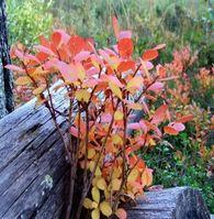 høst blader