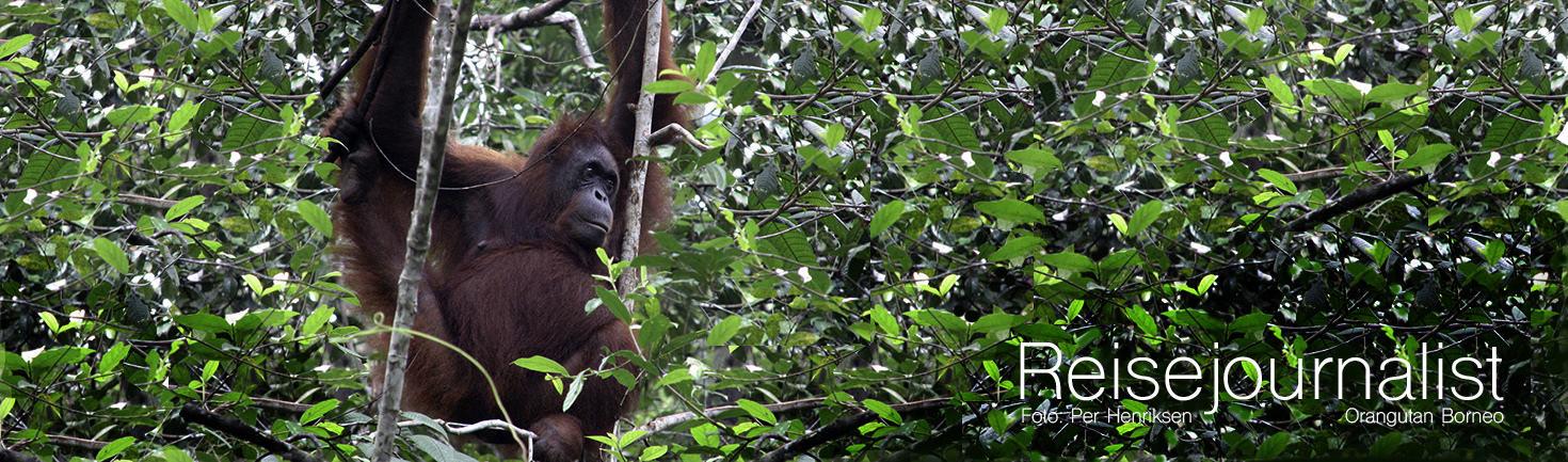 RJ Topp Orangutan