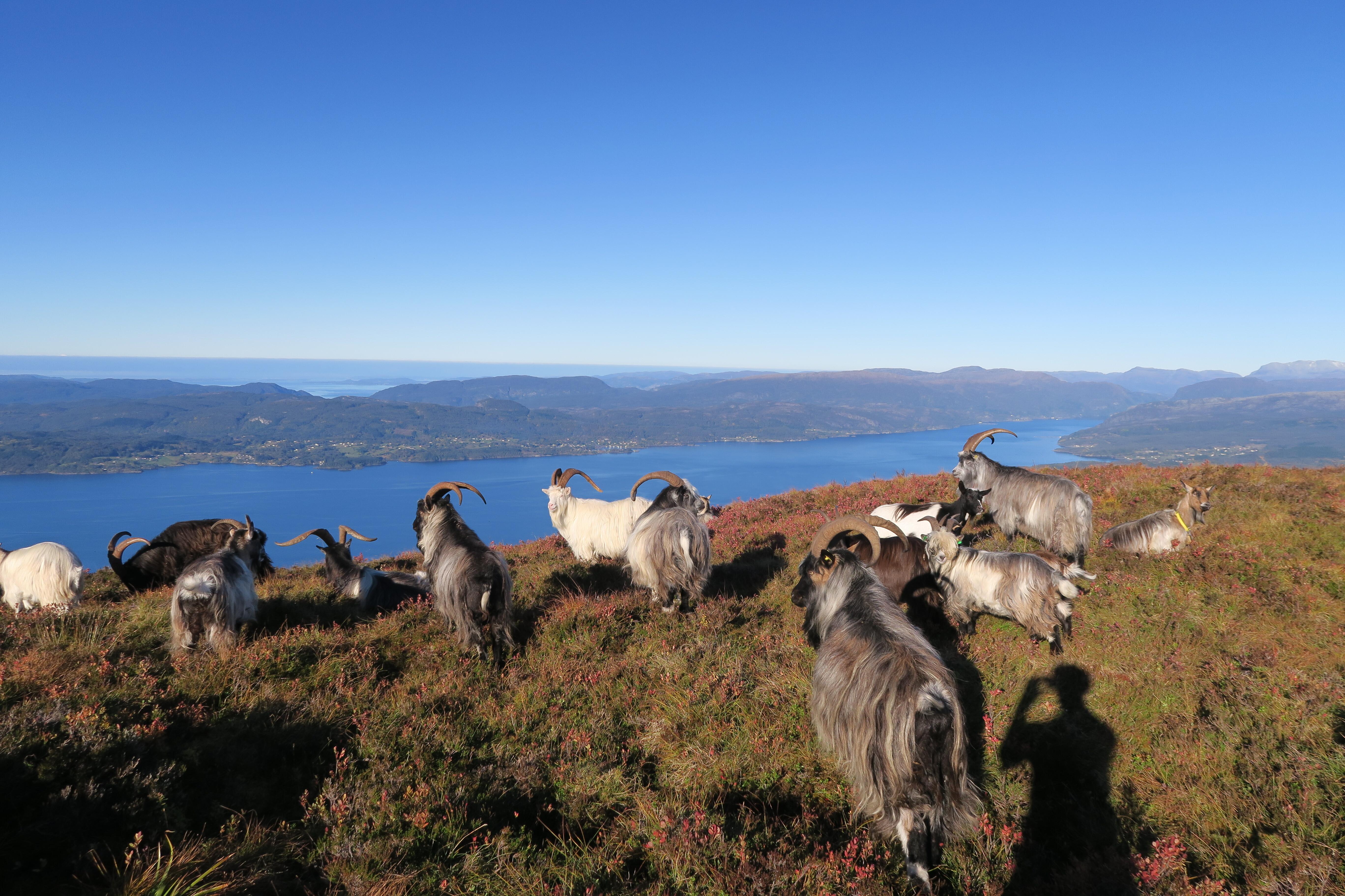 Geite på fjellet over Løfallstrand