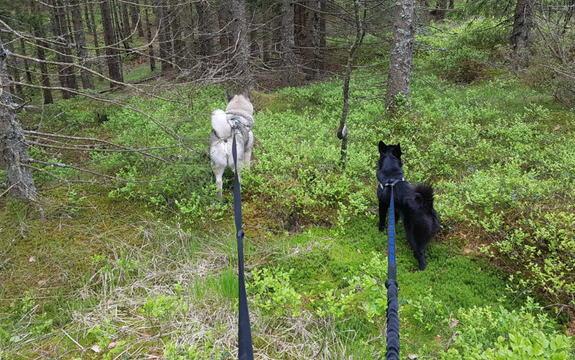 Foto av en tur i skogen med hunder i bånd.