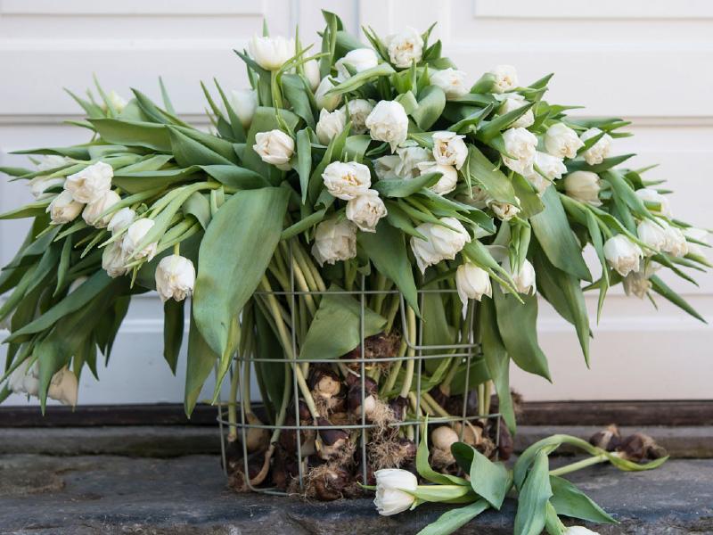 Hvite-tulipaner-med-lok.jpg