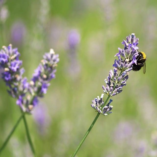floriss-lavendel-humle.jpg