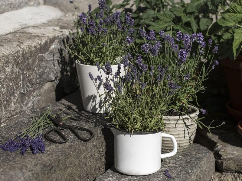 floriss-lavendel-trapp.jpg