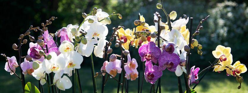 Phalaenopsis- vår naturlig dyrkede orkidé