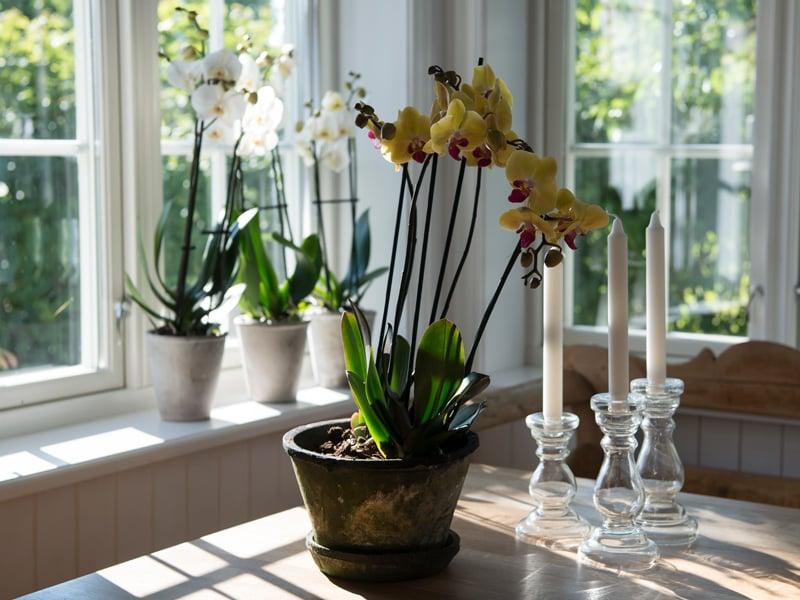 floriss-phalaenopsis-orkidee-potte-blomsterpotte.jpg