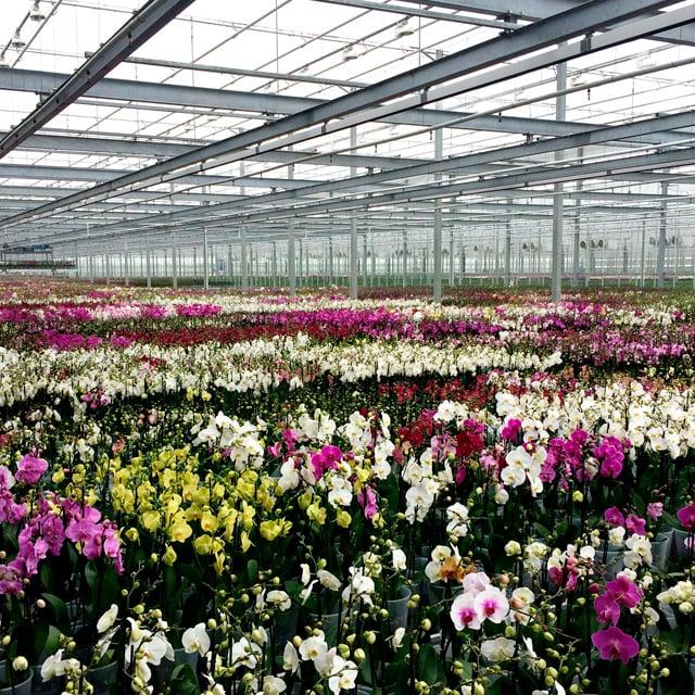 floriss-phalaenopsis-orkidee-drivhus.jpg
