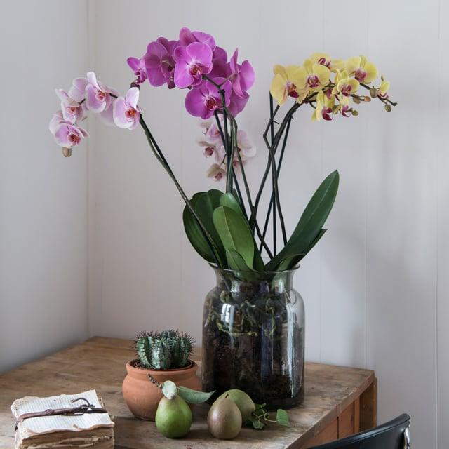 floriss-phalaenopsis-orkidee-glasskrukke-vase-lilla-rosa-gul.jpg
