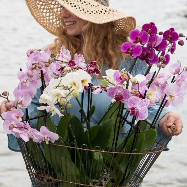 floriss-phalaenopsis-orkidee-kurv-lilla-rosa-hvit.jpg