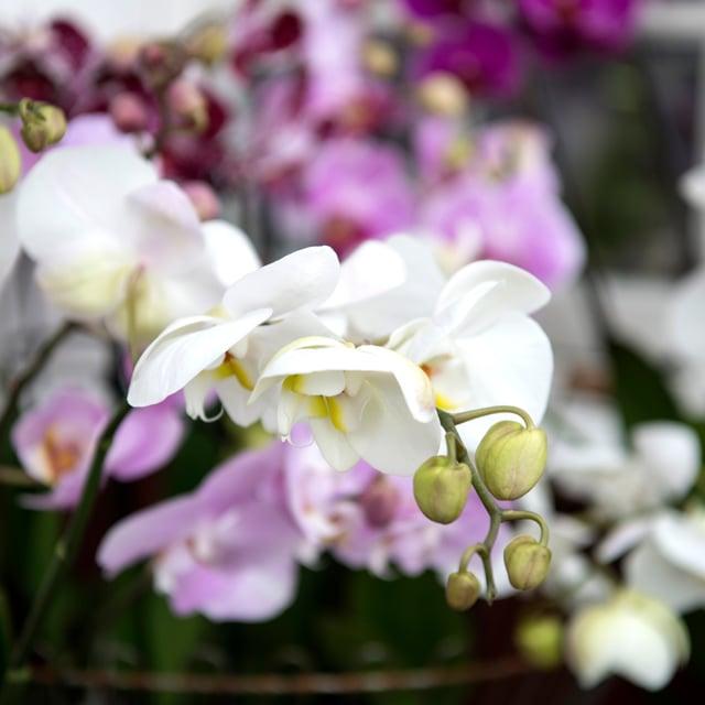 floriss-phalaenopsis-orkidee-lilla-hvit.jpg