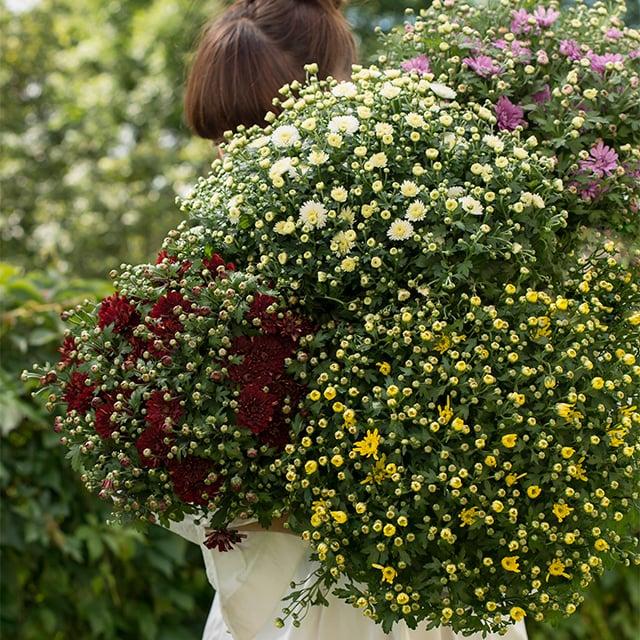 chrysantemum-3.jpg