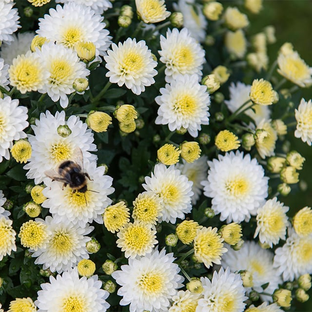 chrysantemum-4.jpg