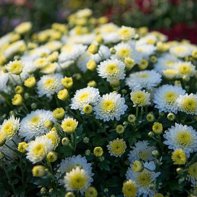 chrysantemum-5.jpg