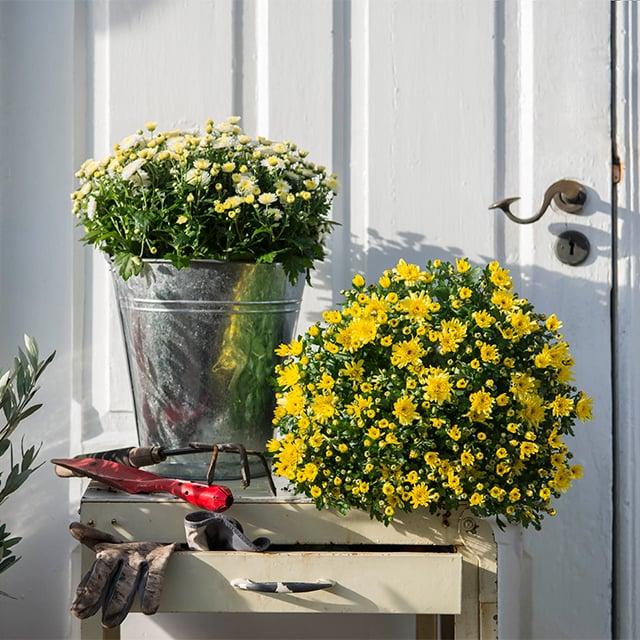 chrysantemum-8.jpg