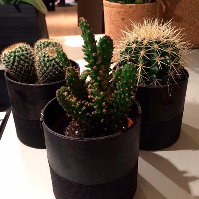 floriss-kaktus.jpg