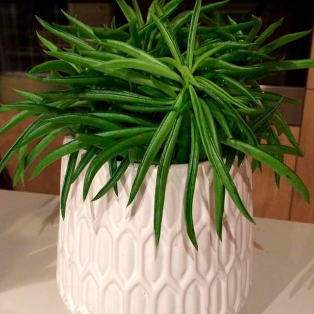 floriss-peperomia-nevada-3.jpg