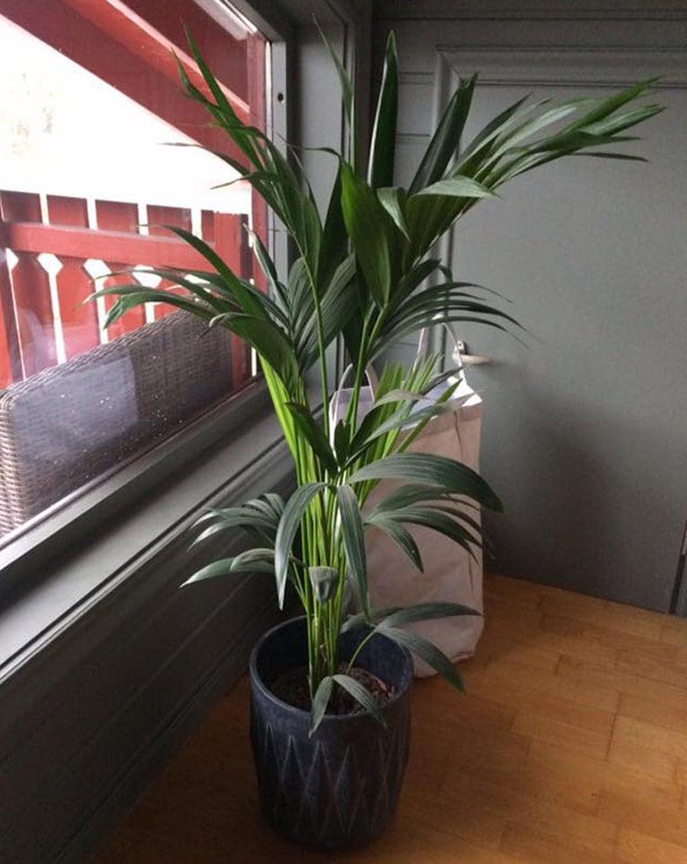 floriss-howea-palme-2.jpg