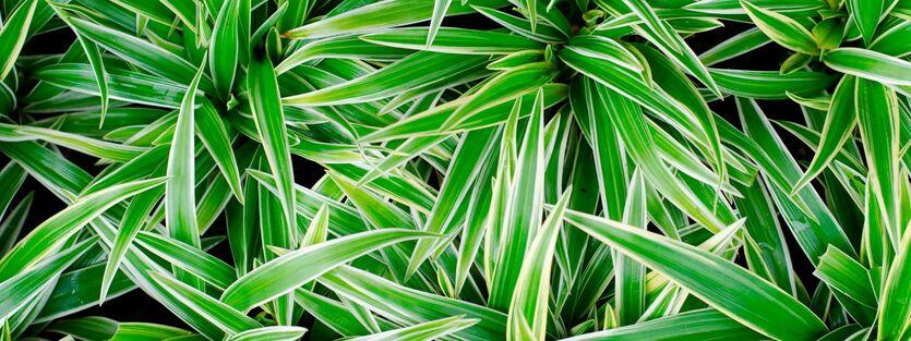 Chlorophytum - Grønnrenner