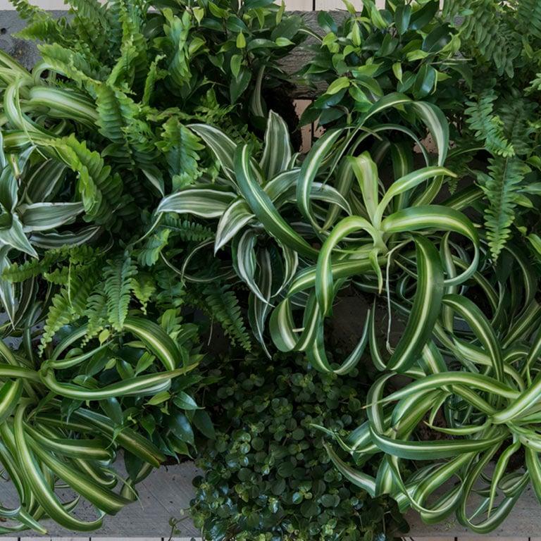 chlorophytum-gronnrenner-1.jpg