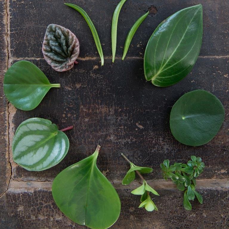 pilea-kinesisk-pengeplante.jpg