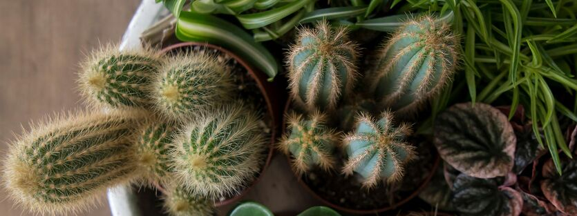 Cactaceae - Kaktus