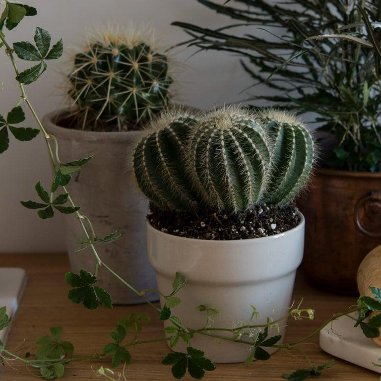 cactaceae-kaktus-2.jpg