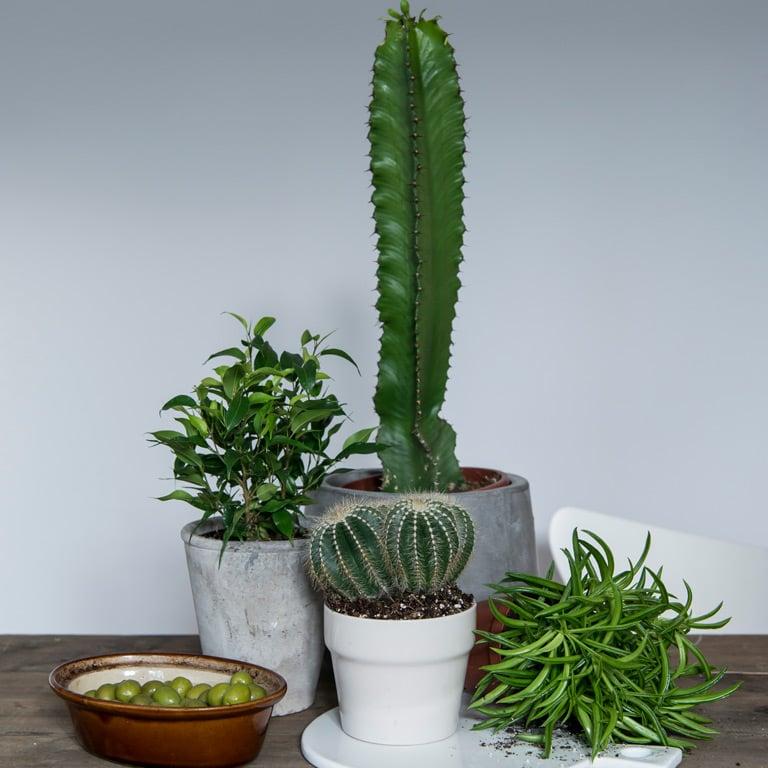 cactaceae-kaktus.jpg