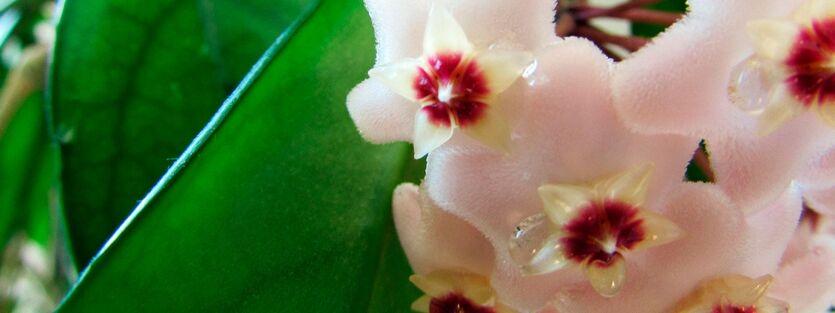 Hoya Carnosa - Porselensplante