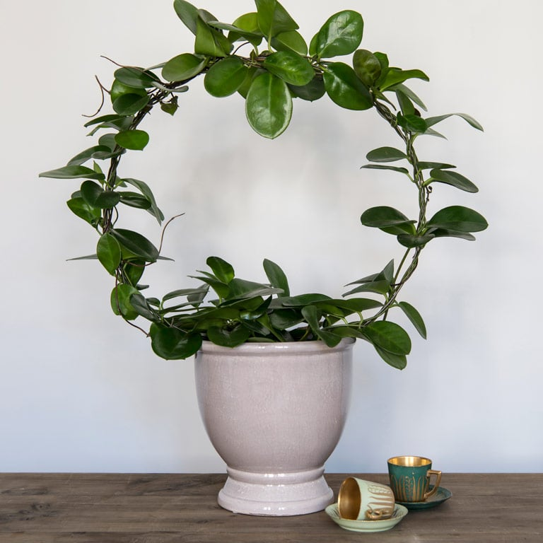 hoya-carnosa-porselensplante-2-1.jpg