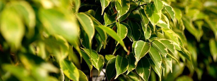 Ficus Benjamina - Bjørkefiken
