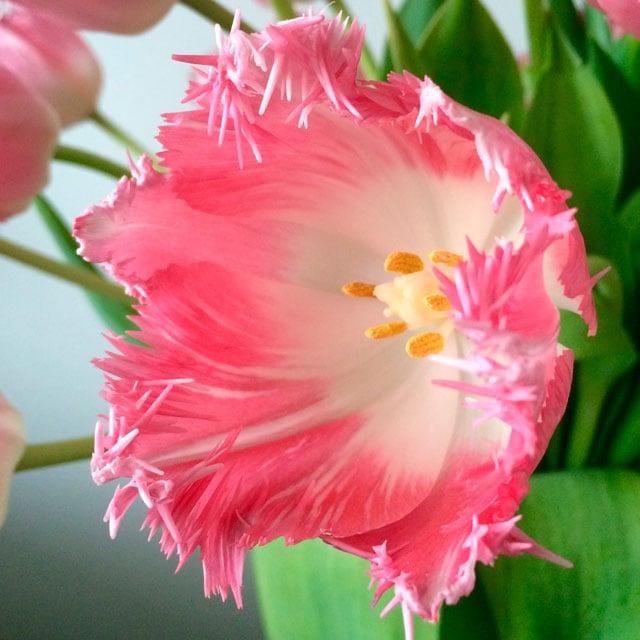 floriss-tulipaner-Cacharel.jpg