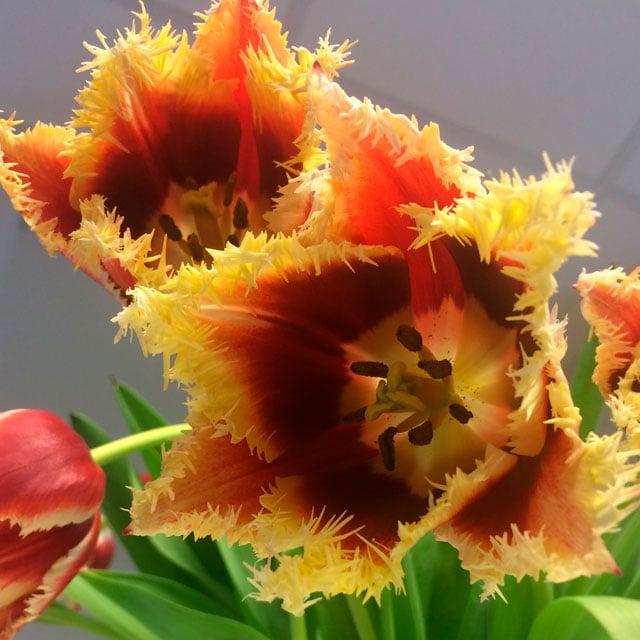 floriss-tulipaner-Highway.jpg