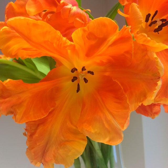 floriss-tulipaner-Monarch-Parrot.jpg