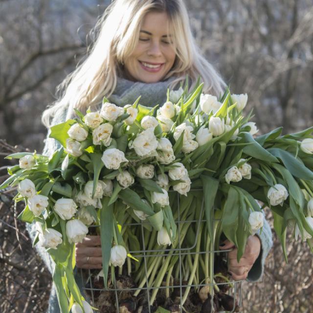 hvite-tulipaner-m-lok.jpg