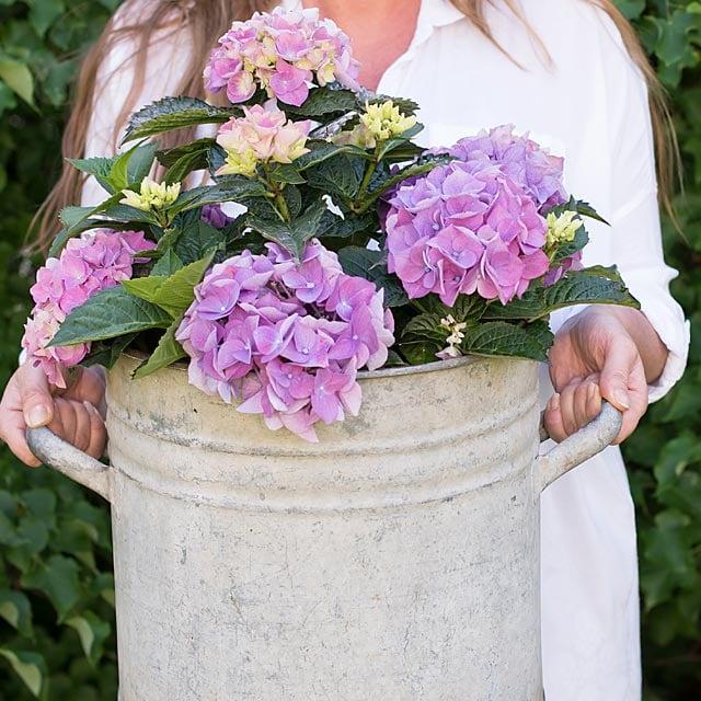 hortensia-lilla-metallvase.jpg