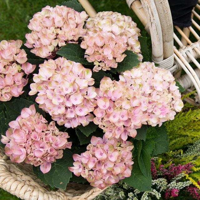 hortensia-rosa-flettet-kurv.jpg