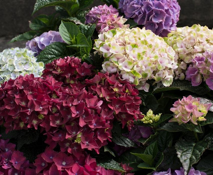 hortensia-alle-farger-varianter-fellesbilde.jpg