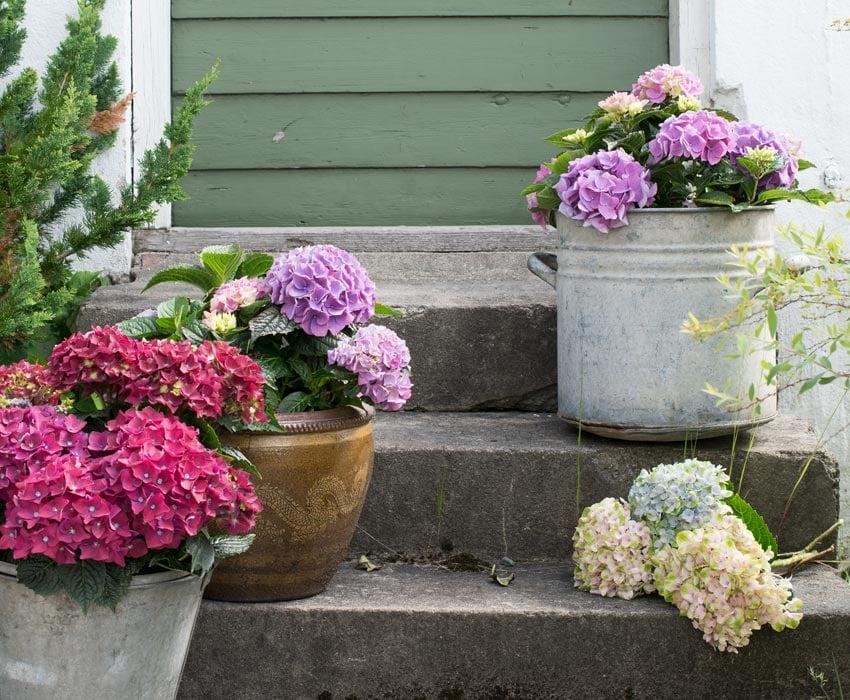 hortensia-alle-farger-varianter.jpg